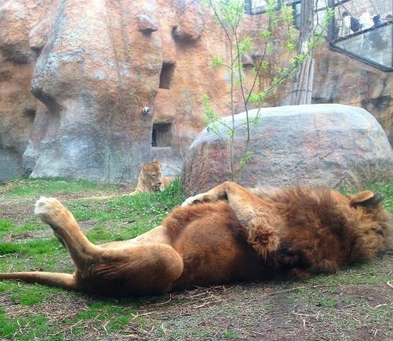 眠れるライオン.jpg